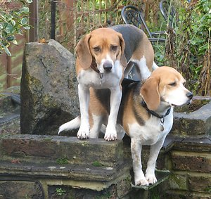 Policies & Practices. Beagles 2